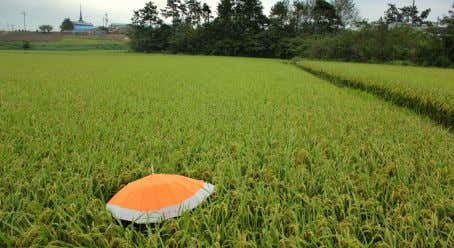in Mokpo. in the rice fields, out of place, but at home 20 / 21 The