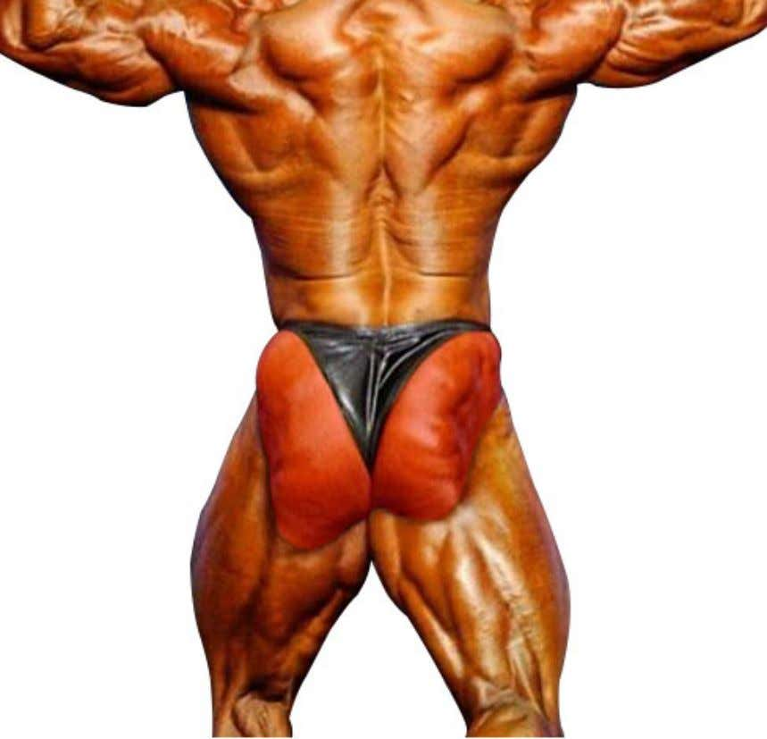 medially rotate the hip joint making it a local stabilizer for the hip. THE CLASSIC PHYSIQUE