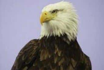 maturity in four to five years. • Size - The female bald eagle is 35 to