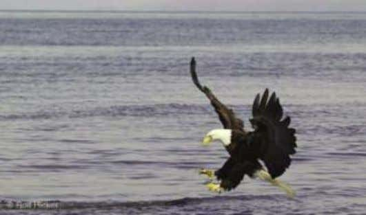 General Facts About Bald Eagles • Wingspan ranges from 72 to 90 inches. • Bald eagles