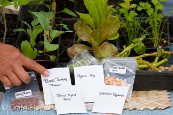 selec- tions made here in Hawai'i, check with neighbors Some of the best seeds are grown