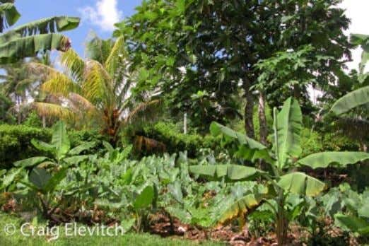 Left: Many tropical food plants are only propagated from vegetative parts, including Hawaiian canoe plants