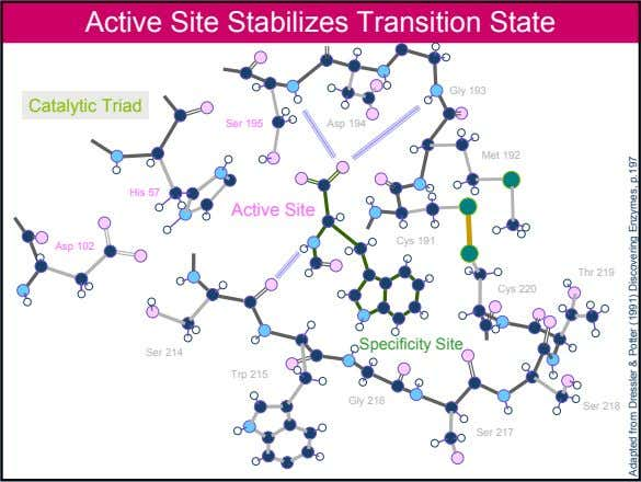 Active Site Stabilizes Transition State Gly 193 Catalytic Triad Ser 195 Asp 194 Met 192