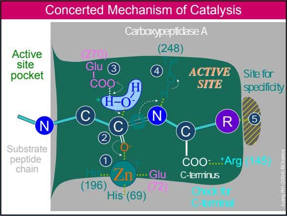 Concerted Mechanism of Catalysis Carboxypeptidase A (248) Active (270) Tyr site Glu 3 4 ACTIVE