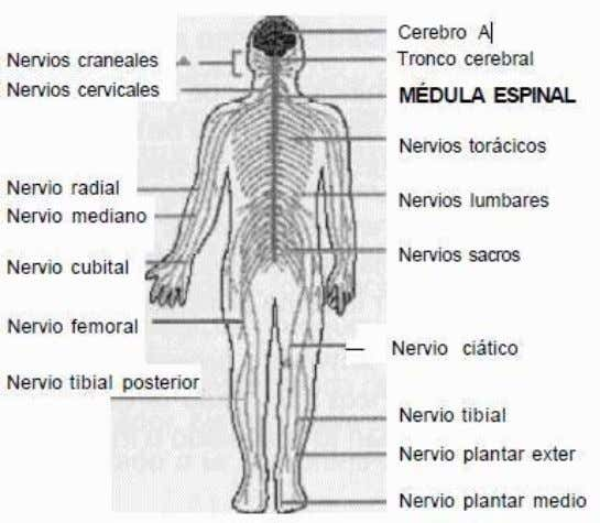 *NerviosEspinales. *Ramificacionesdelosnerviosespinales *Nerviosconlasarticulaciones. Medulaespinal