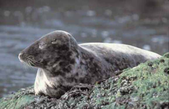 been brought to the island in the early nineteenth century. Pl. 9 - Grey Seal (Halichoerus