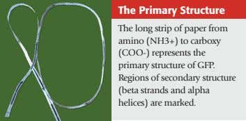 The Primary Structure The long strip of paper from amino (NH3+) to carboxy (COO-) represents the