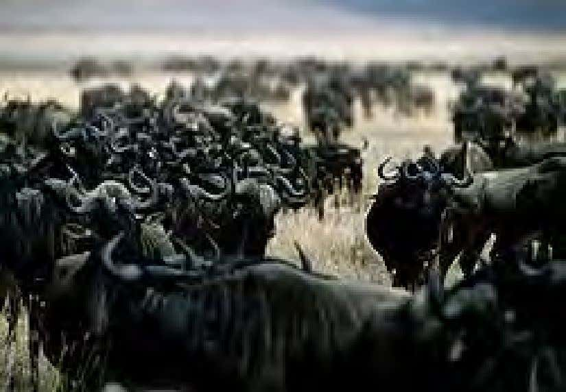 Wildebeest in Ngorongoro Conservation Area, Tanzania. Note the tendency to congregate, one of nature's displays