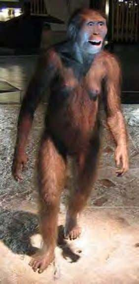 mon- , meaning 'earth' or 'ground'). History A reconstruction of Australopithecus afarensis , a human