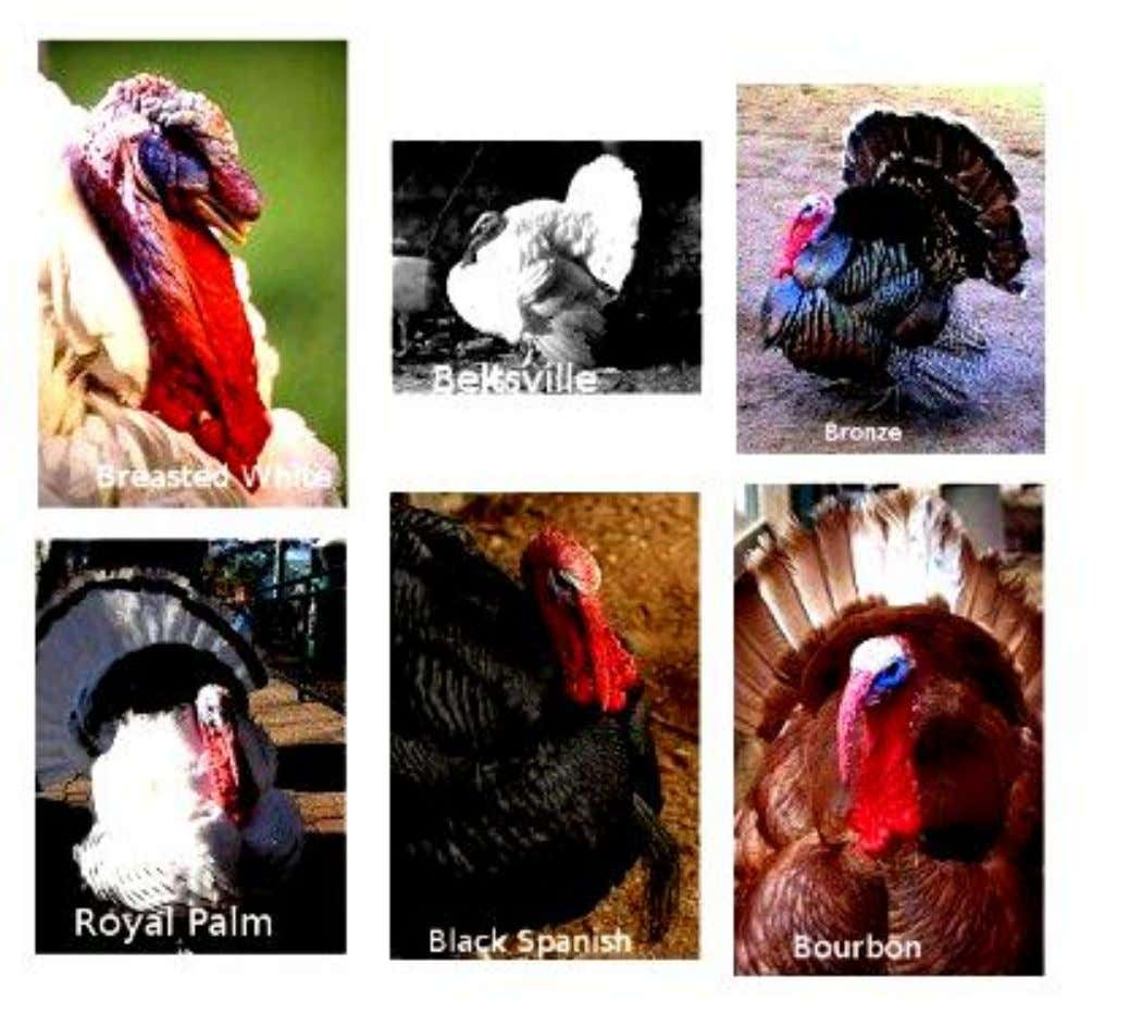 Palm. Rase nerecunoscute: Auburn, Broad Breasted White, Broad Breasted Bronze, Buff, Chocolate Turkey, Ocellated Turkey 37
