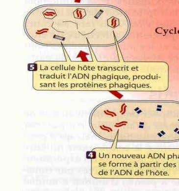 un cycle lytique. Cycle lysogénique du phage Etapes 1, 2, 8, 9 et 10 : cycle