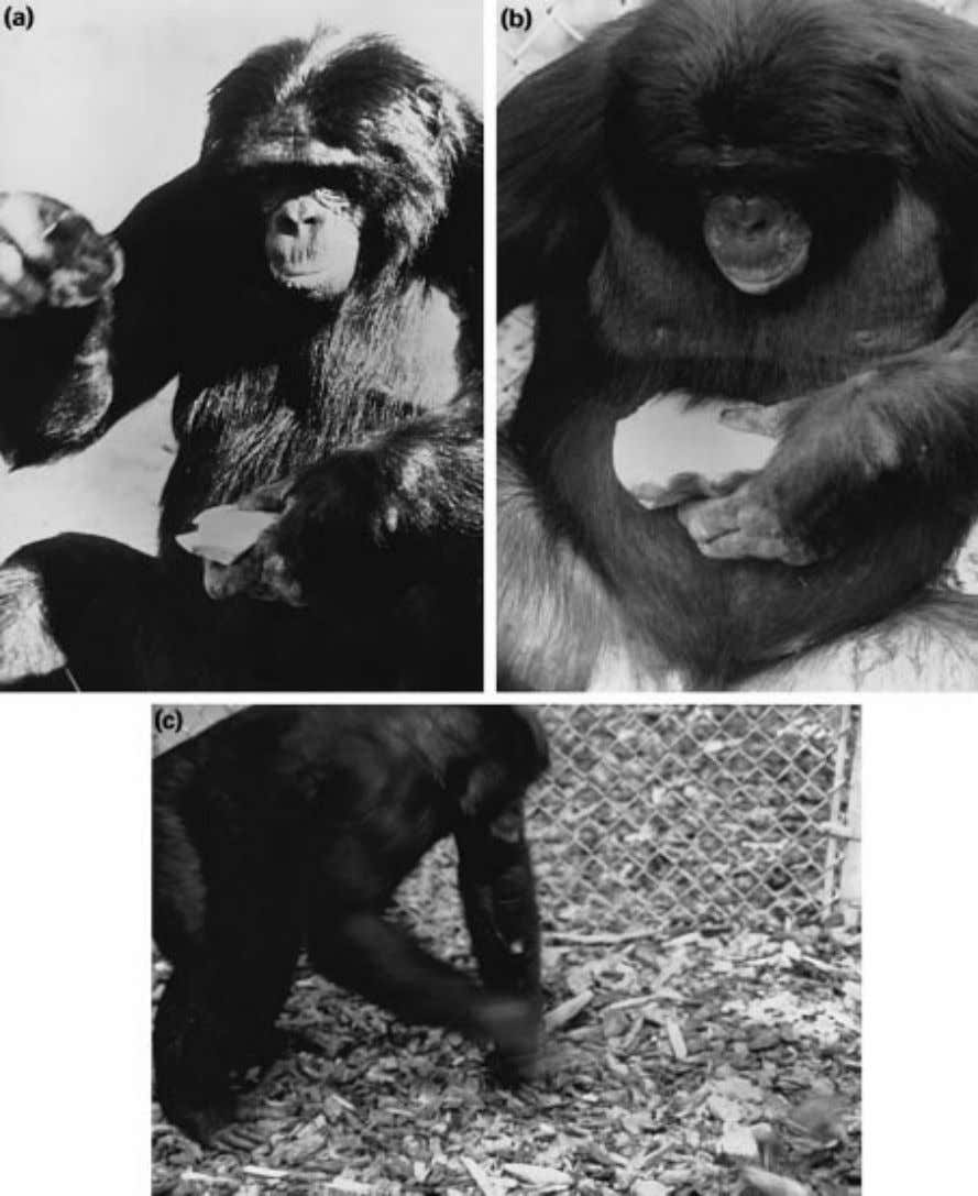 Stone Tool-making and Tool-using Capabilities of a Bonobo 823 Figure 1. (a) Kanzi flaking by hand-held,