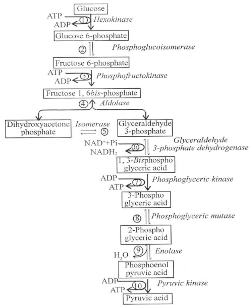 4. What is Glycolysis ? Explain the steps involved in Glycolysis (Draw flowchart Only) The process
