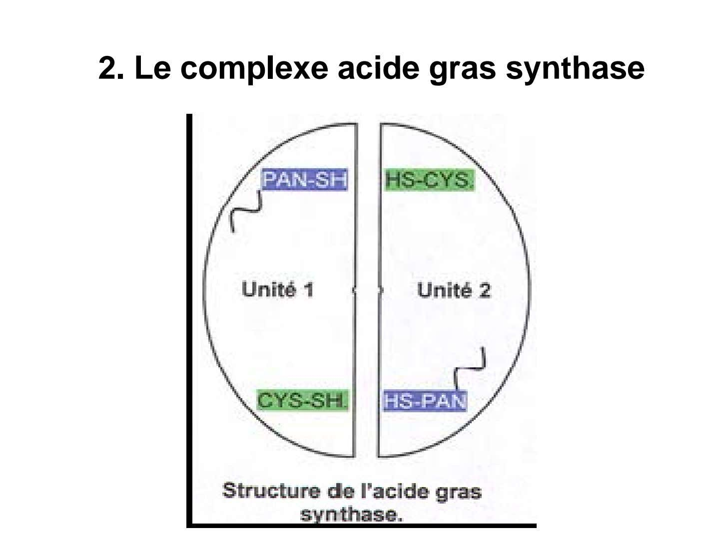 2. Le complexe acide gras synthase