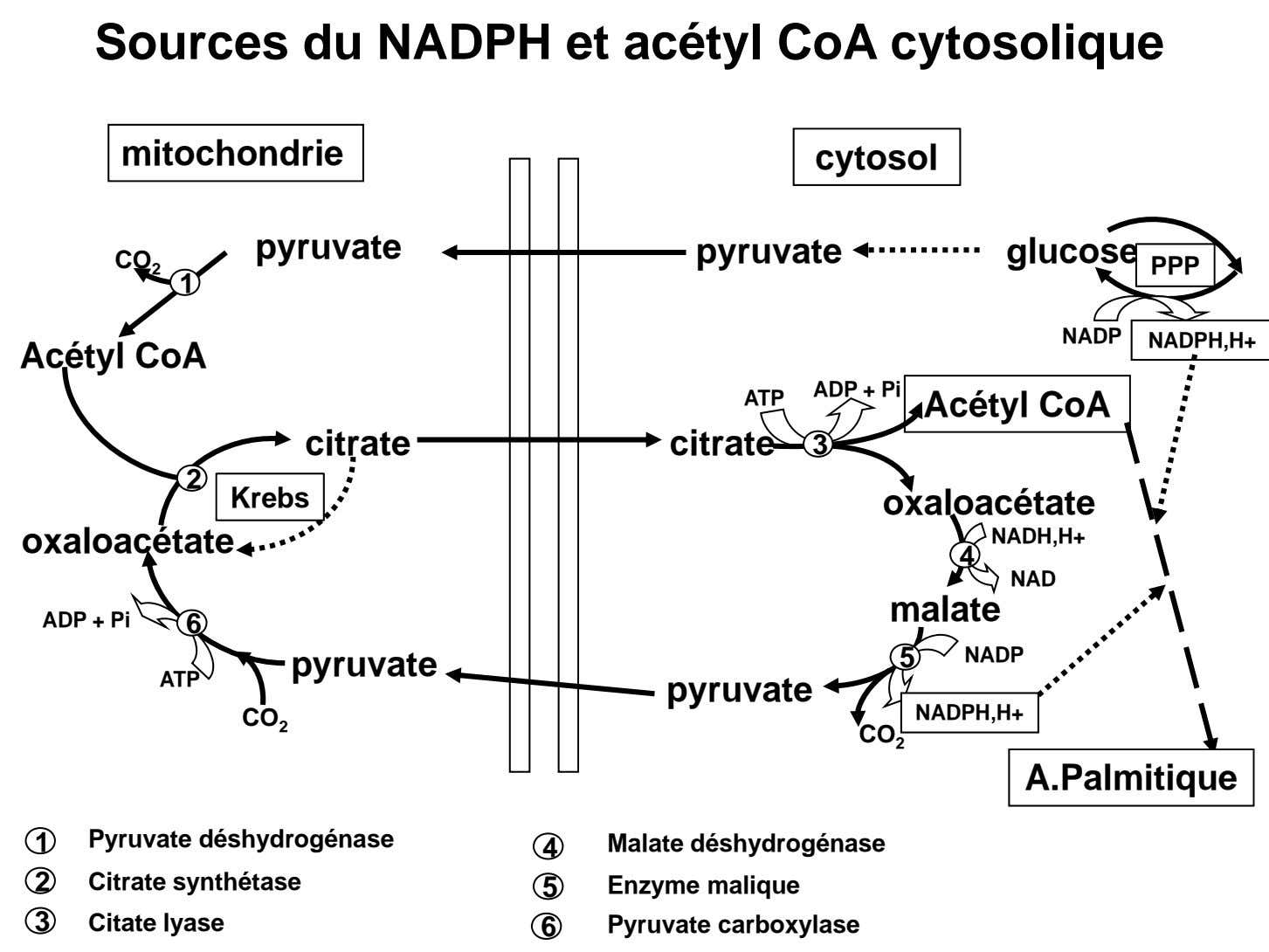 Sources du NADPH et acétyl CoA cytosolique mitochondrie cytosol pyruvate pyruvate glucose CO 2 PPP