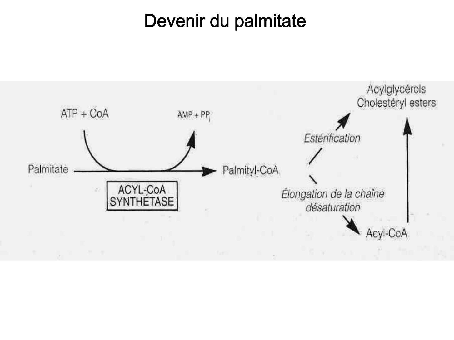 Devenir du palmitate