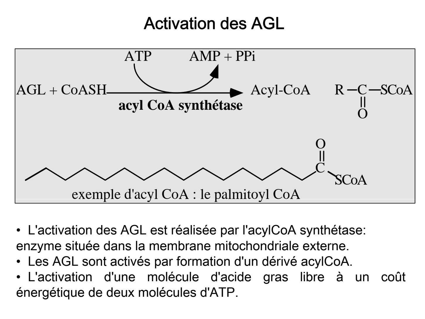 Activation des AGL ATP AMP + PPi AGL + CoASH Acyl-CoA R C SCoA acyl