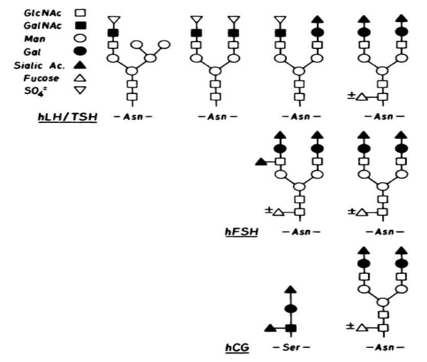 and steroidogenesis. Removal of the carbohydrate from the a subunit enhances receptor binding when it is