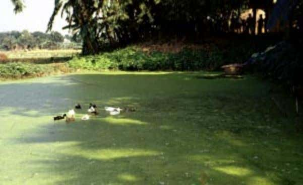 harvesting from the embankment is also favoured here. Photograph 3: Batch-operated pond for duckweed cultivation