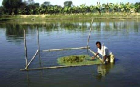 weight using a spring scale and record keeping (Bangladesh). Photograph 9: Distribution of fresh sewage-grown duckweed