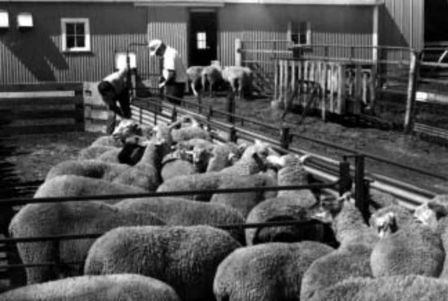 T HE S HEEP B OOK Sorting pens and chutes such as this commercially available British
