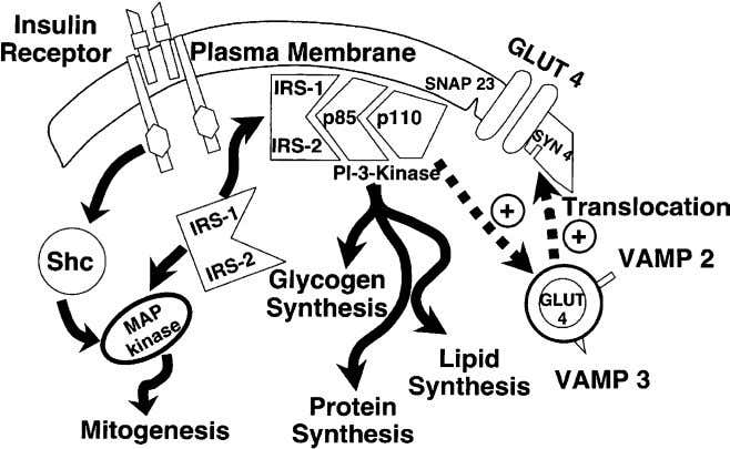 R.A. DeFronzo / Med Clin N Am 88 (2004) 787–835 813 Fig. 14. Insulin transduction system.