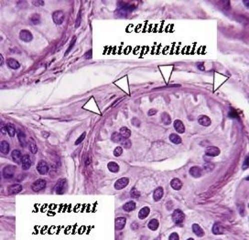 : • surrounding secretory portion of • Salivary glands • Lacrimal glands • Sweat glands •