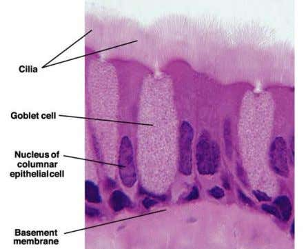 of specialized cells • Extracellular matrix : • small amount • highly organized - basement membrane