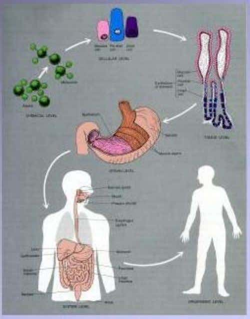 • Cells • Tissues • Organs • Organ Systems • Organism