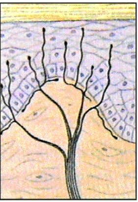 42 • free nerve endings - unmyelinated axons • depends on location of the epithelium and
