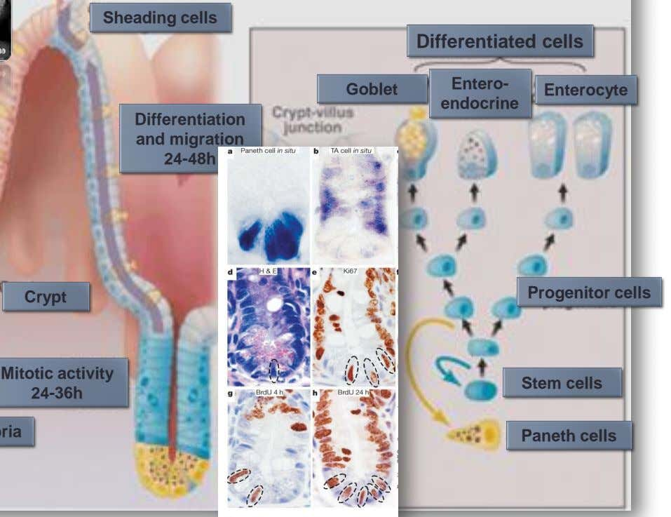 Sheading cells Differentiated cells Goblet Entero- Enterocyte endocrine Differentiation and migration 24-48h