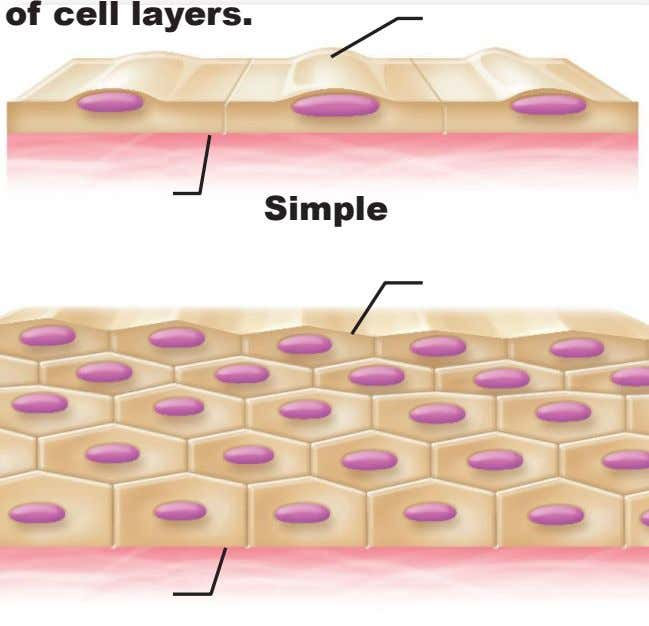 of cell layers. Simple