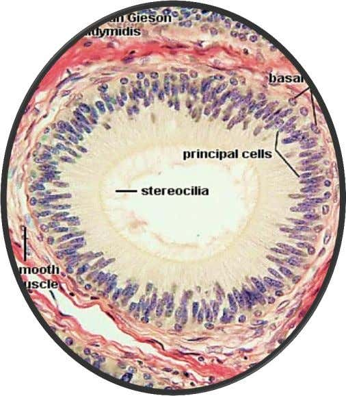 apical surface specializations: Epididymis epithelium • cilia, • stereocilia Respiratory epithelium HE, ob. 40x