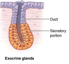 • Criterion - release of secretory product • exocrine glands • in contact with the