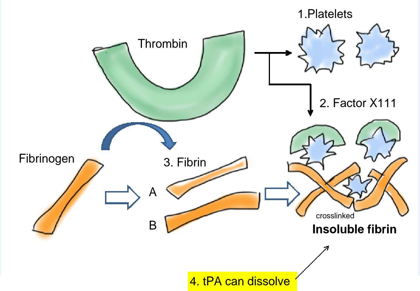 1.Platelets Thrombin 2. Factor X111 Fibrinogen 3. Fibrin A crosslinked B Insoluble fibrin 4. tPA