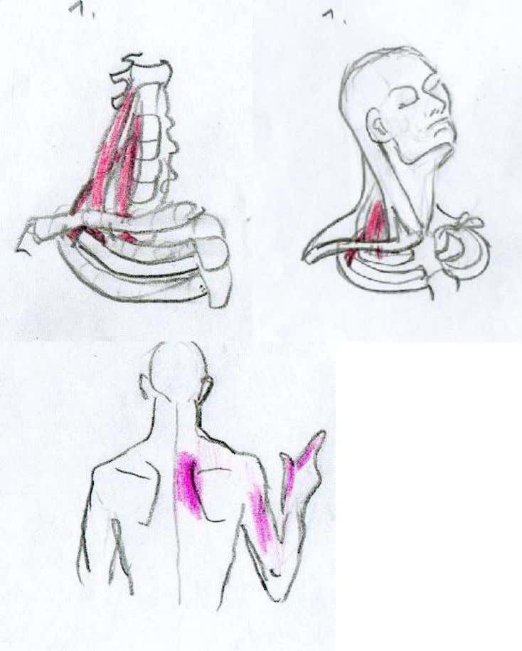 scalanes Locate your collar bone use your fingers o pull to the collar bone. . 20