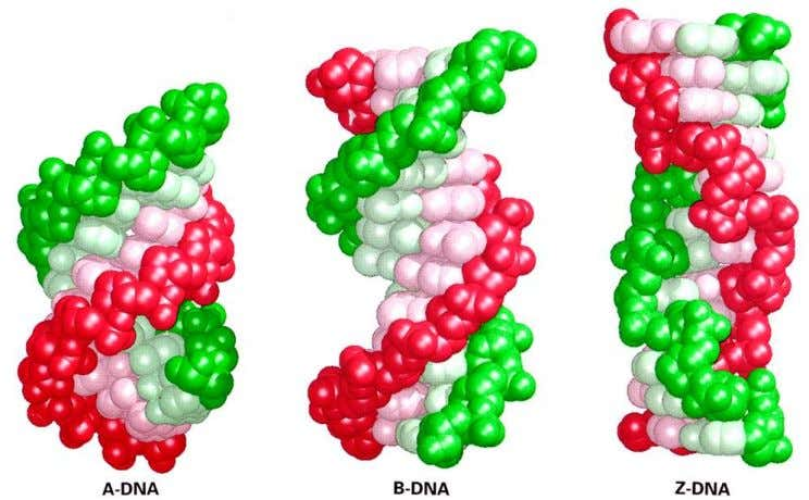 Figure 11.3 Space-filling models of three types of DNA double helix. The biologically important structure is