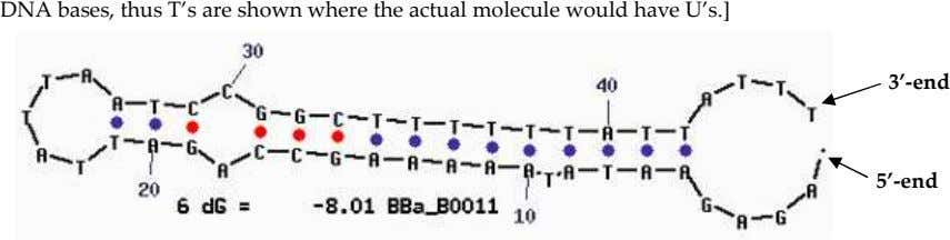 DNA bases, thus T's are shown where the actual molecule would have U's.] 3'-end 5'-end