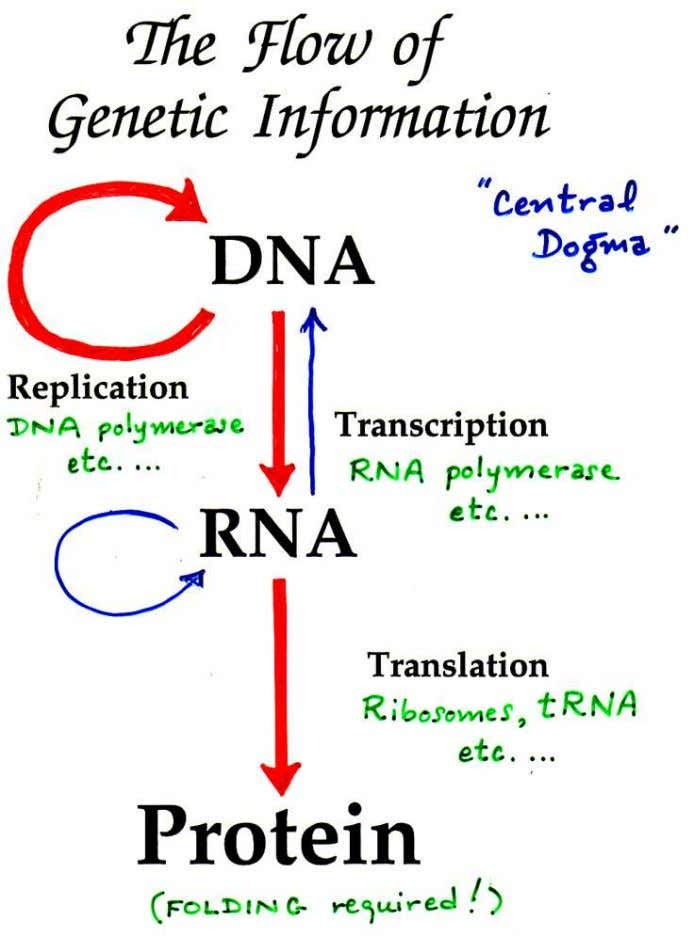"Figure 14.1 The ""Central Dogma"" of molecular biology. Large red arrows denote the major paths of"