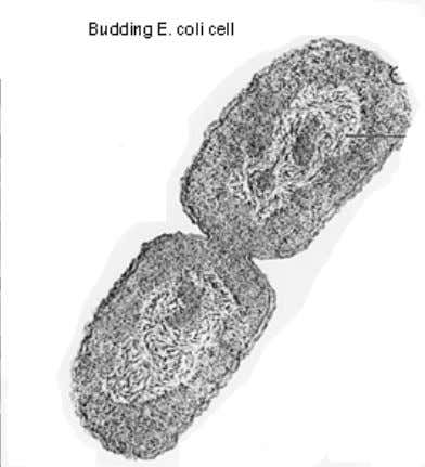 Figure 1.1 Representative cells important in synthetic biology. (a) Views of E. coli cells by scanning