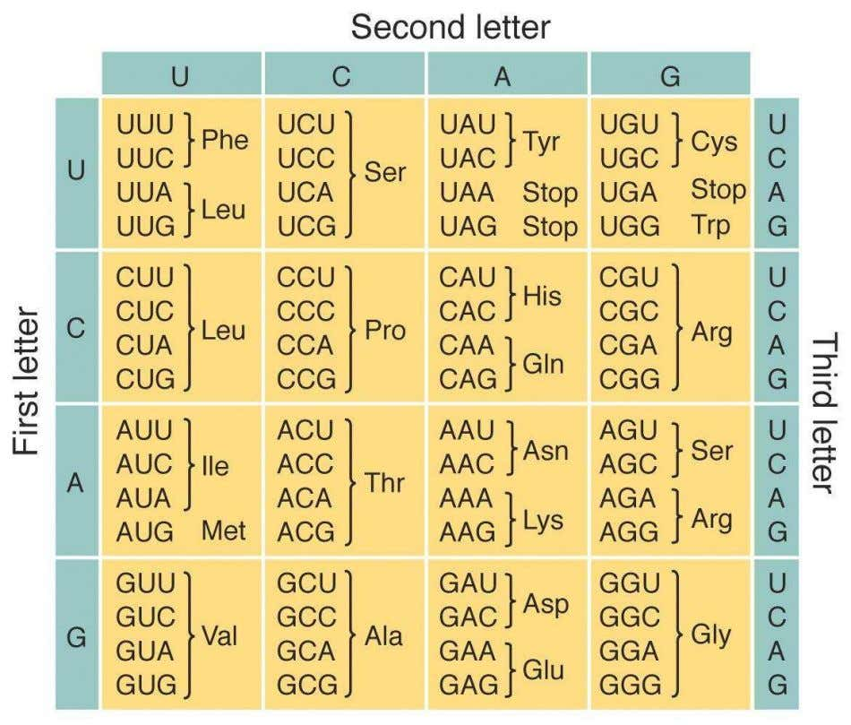 "Table 16.1 The Standard (""Universal"") Genetic Code As synthetic biologists retrieve genes from exotic organisms and"