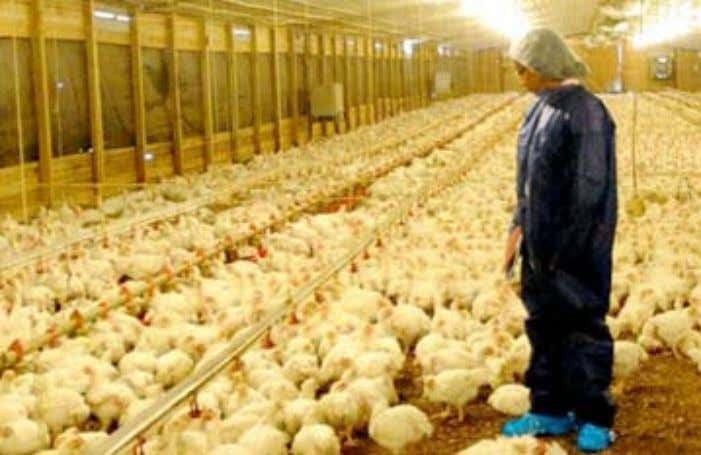 sustainable supply chain – animal welfare Laying Hen Housing McDonald's supply chain leaders have been working