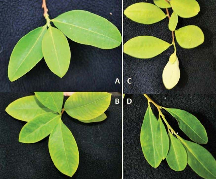 2 4 4 JOURNAL OF ANTHROPOLOGICAL RESEARCH Plate 7. The four varieties of cultivated coca from