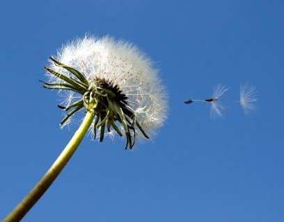"wind-dispersed seeds are fluffy or have ""wings"" to increase drag"