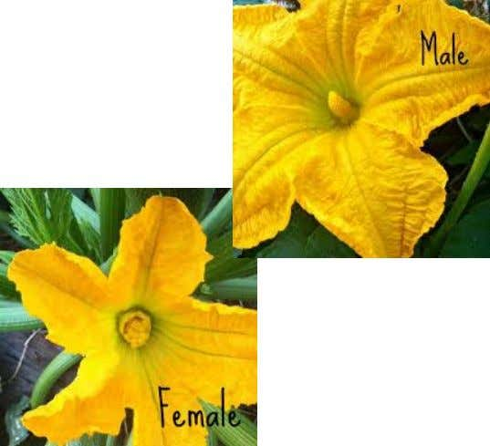 of the flower: Perfect Flower Hibiscus rosa sinensis (Gumamela) Imperfect Flower Cucurbita maxima (Squash/Pumpkin)