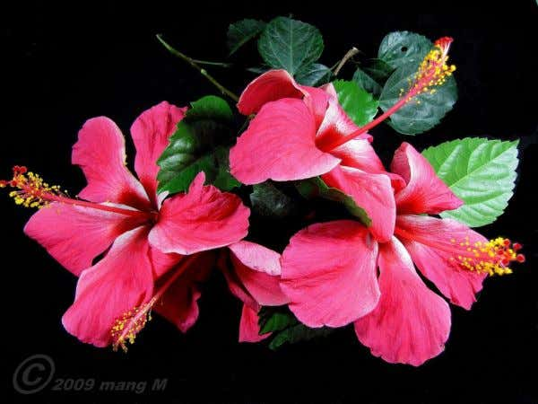 Based on the size and shape of floral parts: Regular Flower Hibiscus rosa sinensis (Gumamela) Irregular
