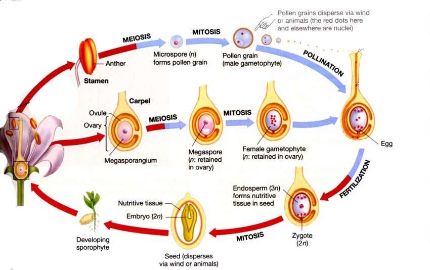 has 2 cells 1 grows into pollen tube , penetrates ovary other 1 forms 2 sperm