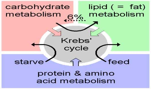 lipoic Acid (avoid if MTRR 11 and CBS are both present) The Energy or Citric Acid
