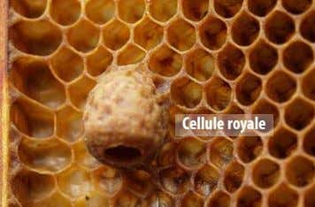 Cellule royale