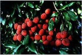 Bihar accounts for 71% of India's annual litchi production. [ 5 7 ]